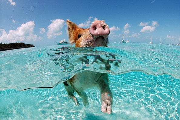 Forget flying...how about swimming pigs?!?